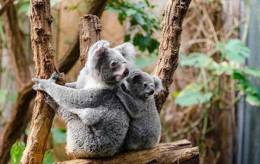 Cute koala sitting tree online