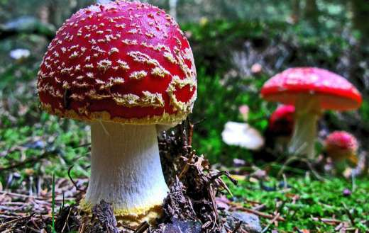 Fly agaric online