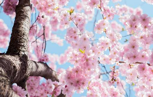 Low angle photo cherry blossoms Stockholm Sweden puzzle