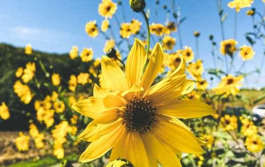 Nice blooming sunflower online