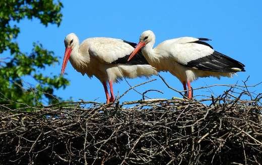 Pair stork nest spring time