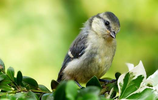 Young tit blue animal bird puzzle