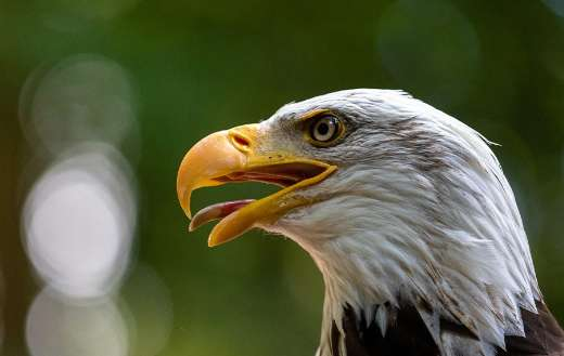 Adler bird bald eagle