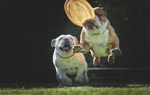 Adorable bulldog jump online
