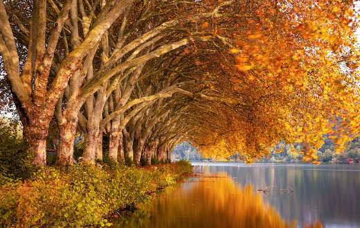 Plane trees autumn nature online