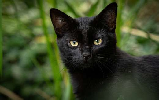Black pet domestic cat
