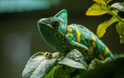 Chameleon green exotic reptile
