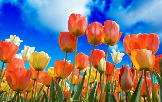 Tulips online