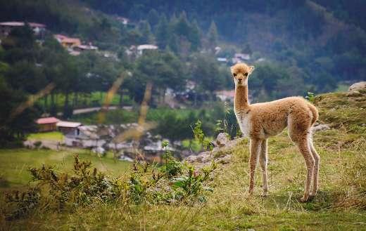 Vicuna animal nature wildlife fauna
