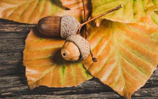 Autumn season acorns leaves foliage