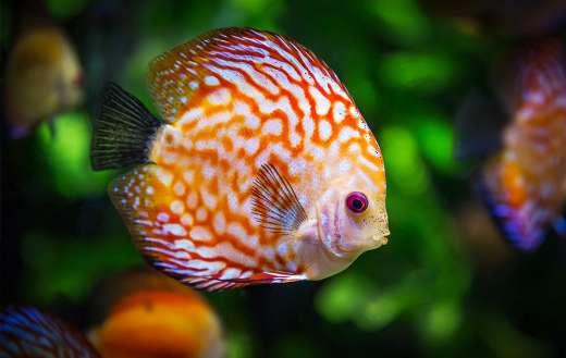 Discus fish online