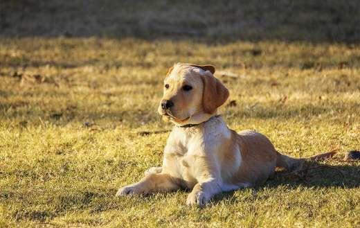 Golden retriever puppy doggy online