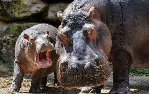 Hippopotamus online