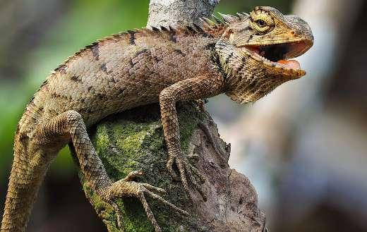 Iguana Salamanders fence hue puzzle