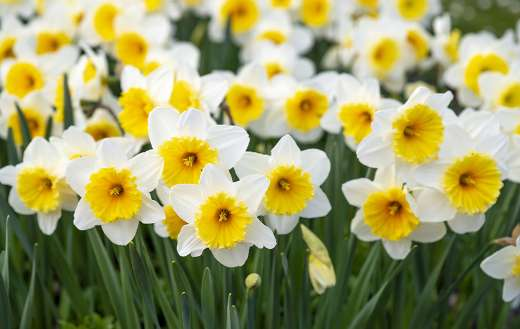 White and yellow flowers online