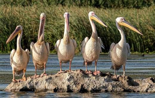 Great white pelicans Danube Delta