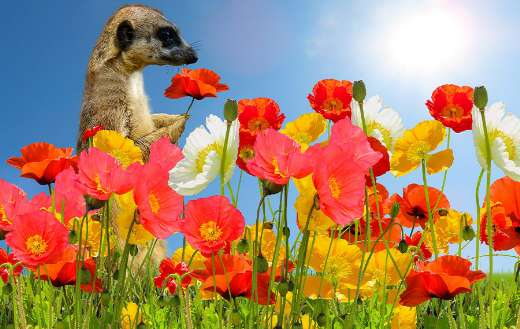 Poppies online