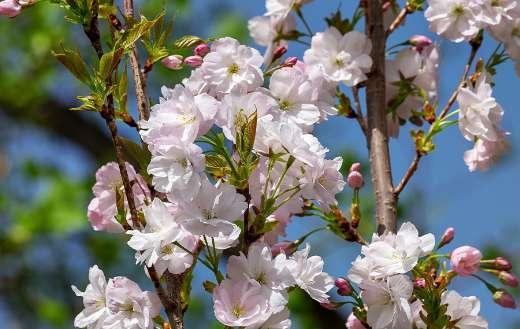 Japanese column cherry prunus serrulata puzzle