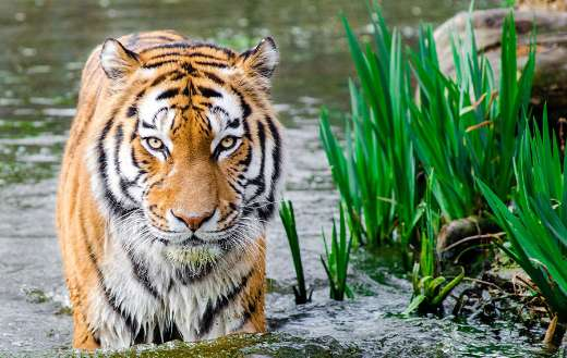 Tiger in the water lake online