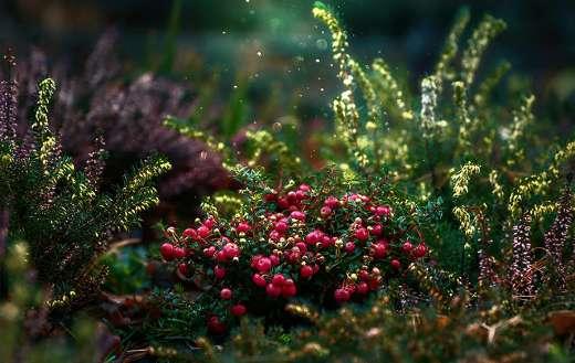 Whortleberry billberry cranberries
