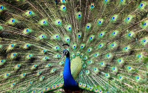 Blue and green peacock online