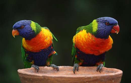Blue green and orange parrot online