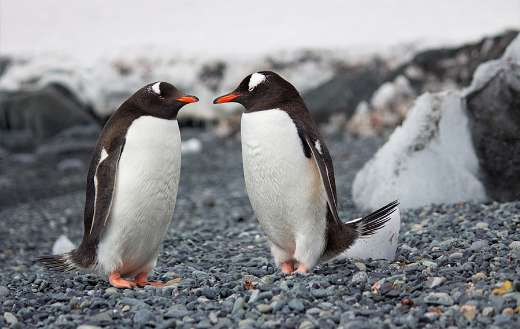 Focus photography of two penguins
