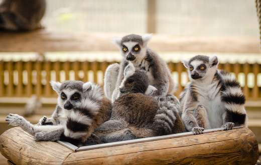 Group of ringtail lemur online