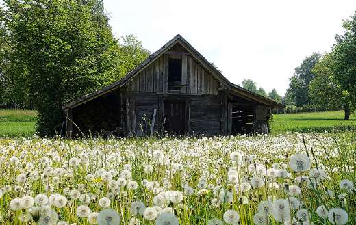 Old rural wood barn with dandelion blossom online