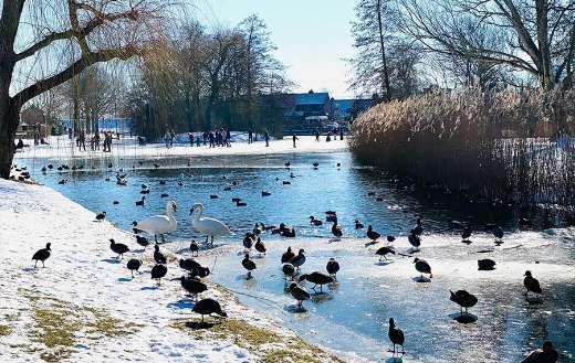 Winter swans birds nature online
