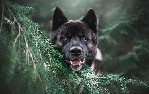 Akita breed dog