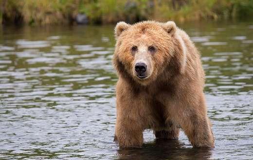 Brown bear online