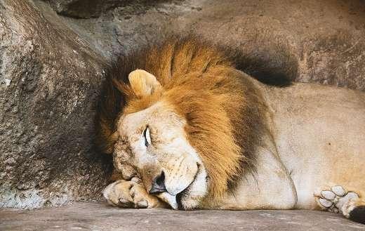 Lion sleeping in den online