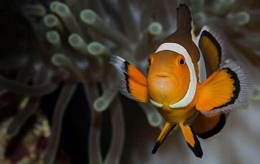 Ocellaris clownfish puzzle