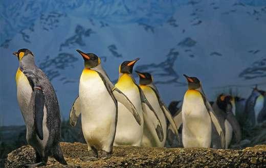 Penguins walking on surface puzzle