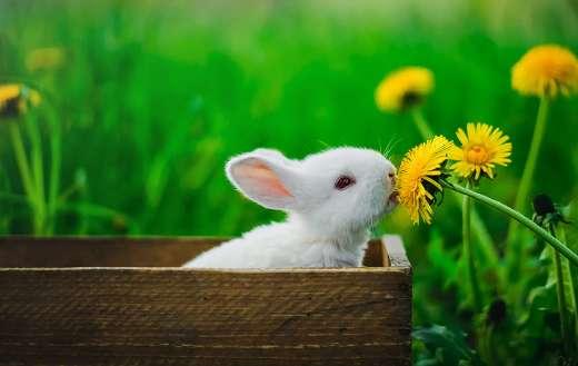 White rabbit online
