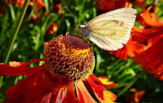 Butterfly in flower online