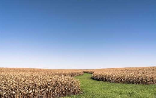 Corn farm under blue sky