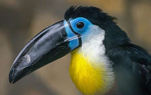 Toucan bird photo online