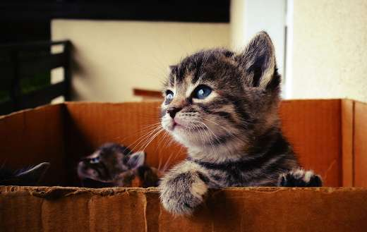 Baby kitten in box online