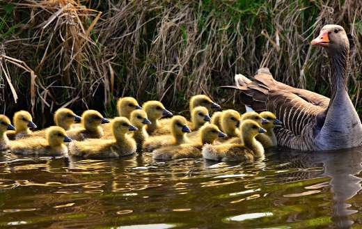 Mother goose with babies