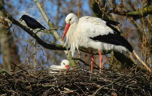 Mother stork online