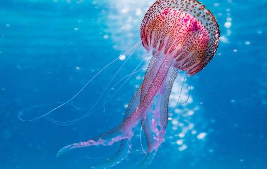 Pink and brown jellyfish