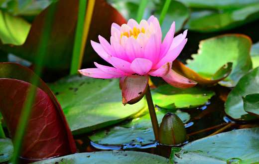 Pink water lily online