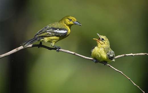 Birds fledgling mother and child
