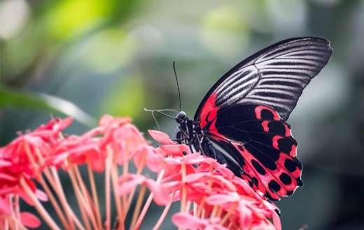 Scarlet mormon butterfly in flower puzzle