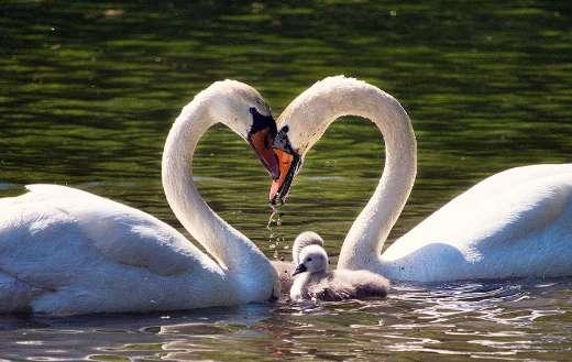 Swan family love lake online