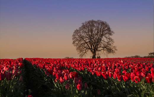 Tulips field with one tree puzzle