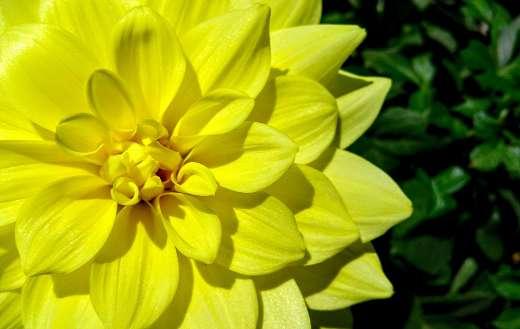 Yellow dahlia flower online