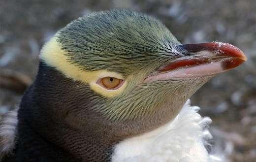 Penguins online